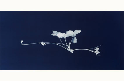A cyanotype from the print series Yield